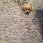 Walnut Creek-Dog-carpet-clean